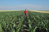 stock photo of inspection  - Agriculture farmer inspect quality of corn in late spring or early summer - JPG