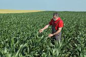 pic of inspection  - Agriculture farmer inspect quality of corn in field late spring or early summer - JPG