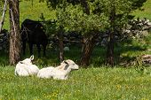 stock photo of calf  - two white calves sunbathing on a green meadow observed by his mother - JPG