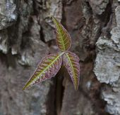 picture of ivy  - Poison ivy on a pine tree that is just starting to grow - JPG