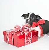 pic of christmas puppy  - Sweet Boston Terrier puppy that looks like he wants to give a Christmas gift to someone with copy space - JPG