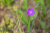 pic of violet flower  - Beautiful cockle flower growing in nature - JPG