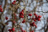 image of berries  - Hawthorn berries - JPG