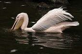 stock photo of catch fish  - Great white pelican  - JPG