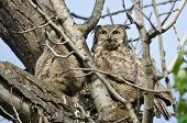 foto of owl eyes  - Great Horned Owl Making Direct Eye Contact with You - JPG