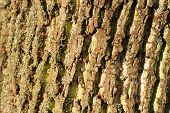 Tulip Tree Bark
