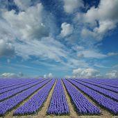 Hyacinth Fields In Holland