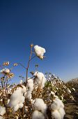 A cotton field ready for harvest with dead plants and nice big boll of cotton