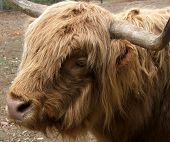 Animal - Highland Cow poster