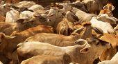 Cow herd background