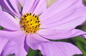 Macro of cosmos flower