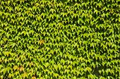 Background of Japanese creeper