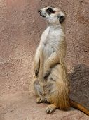 A Curious Meerkat Stands Upright To Keep Watch At The Cango Conservation Wildlife Park In South Afri