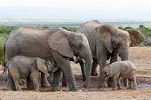Постер, плакат: African Bush Elephant Family Structure