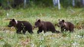 Three Beautiful Brown Bear Cubs (ursus Arctos) Walking In The Finnish Taiga poster