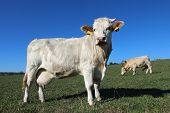 foto of charolais  - herd of young white cows on green meadow - JPG