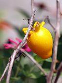 yellow eggplant flower