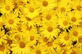 Yellow daisy background