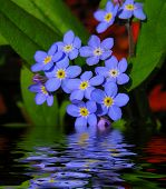 stock photo of forget me not  - Forget Me Nots Reflections
