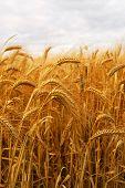 Постер, плакат: Пшеница
