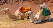 Morocco Marrakech: Close To Marrakech Resting Camels In The Atlas