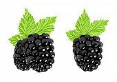Vector blackberry on white background