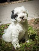 White Funny Tibetan Terrier Dog Puppy Is Lost And Sitting On Nature poster