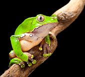 frog at night in amazon rain forest sitting on a jungle tree branch