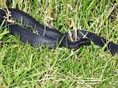 Large Red-Bellied Black Snake (Pseudechis Porphyriacus)