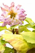 Faded Pink Peony Or Paeonia Lactiflora Plant On White Background poster