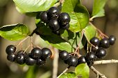 image of aronia  - black Chokeberries  - JPG