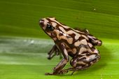 poison dart frog dendrobats auratus