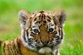 Cachorro de tigre siberiano lindo