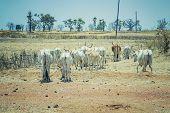 A Herd Of White African Cows Walks Through The Savannah Near Dakar, Senegal. Baobabs Are Visible In  poster