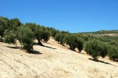 View Of The Olive Groves In The Mountains, Ubeda, Andalucia, Spain poster