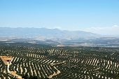 View Of Olive Groves With Mountains To The Rear, Ubeda, Andalucia, Spain. poster