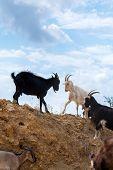 A Herd Of Goats In The Desert Farm poster