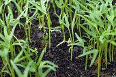 Planting Seedling Of Morning Glory Grow In Fertile Soil In The Vegetable Garden. Green Seedling From poster