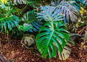 Swiss Cheese Plant With Its Typical Leaves, Nature Background, Popular Tropical Plant Specie From Am poster