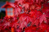 Red Leaves (momiji) Of Acer Palmatum (red Emperor Maple, Palmate Maple, Japanese Maple) In Edo Wonde poster