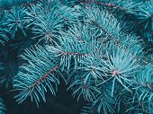 Spruce Branch Close-up. Green Branches Of Fur Tree. Christmas Fir. Frame Of Blue Pine Branch. Conife poster