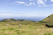 White Cows In Pastures On Pico Island In The Azores, Portugal. poster