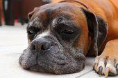 Sleepy Boxer Breed