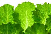 Fresh Lettuce /  leaes isolated on white background / close-up