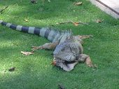 picture of guayaquil  - More iguanas from Ecuador - JPG