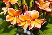 pic of champa  - Beautiful orange flower in thailand Lan thom flower - JPG