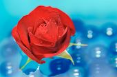 Bela rosa vermelha com o orvalho cai sobre a água
