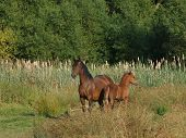 A Pretty Welsh Cob Mare With Her Foal In A Meadow.] poster