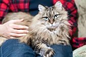 Furry Cat Lying On Its Owners Lap, Enjoying Being Cuddled And Purring poster