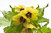 stock photo of hallucinogens  - bloom of black henbane a medieval medicine plant - JPG